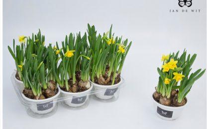 Fleurs produites par Jan de Wit Company (source http://www.jandewit.com.br/tulipas/)